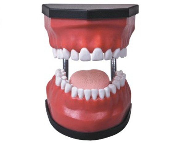 豪华型牙护理保健模型