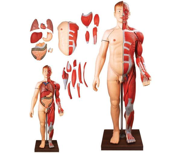 人体全身层次肌肉附内脏模型