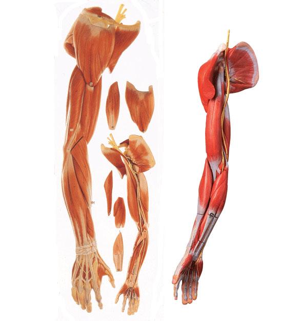 上肢肌肉附血管神经模型