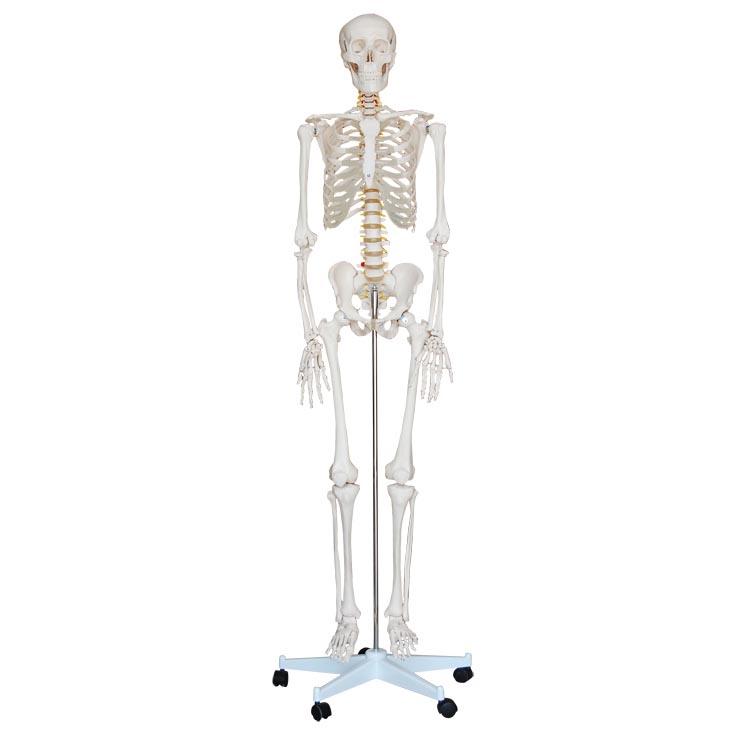 人体骨骼模型(高170cm)
