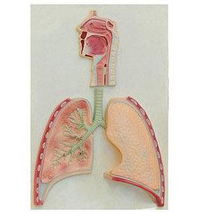 呼吸系统概观模型
