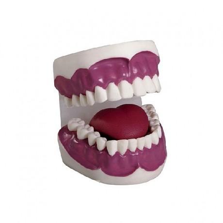 牙护理保健模型(28颗牙)(放大5倍)