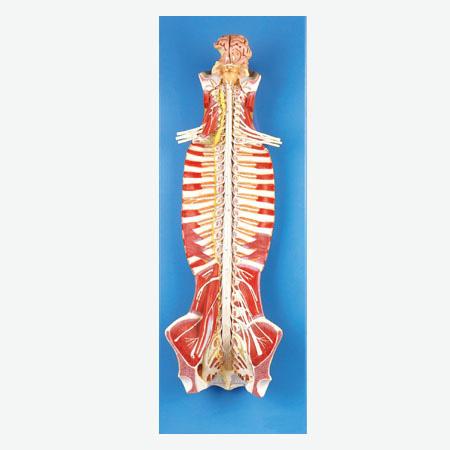 直椎管内部脊髓神经模型